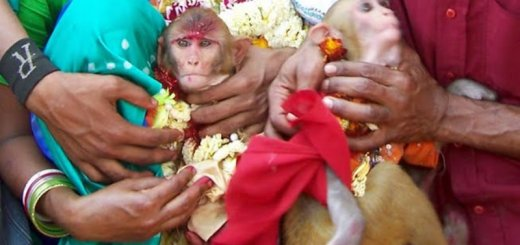 marriage ceremony for monkeys