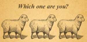sheep follow