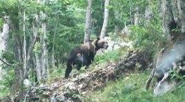 Pizzone: orso Bruno marsicano avvistato in pieno centro. Nel pomeriggio di ieri la sorpresa per la popolazione locale. Il video della redazione.