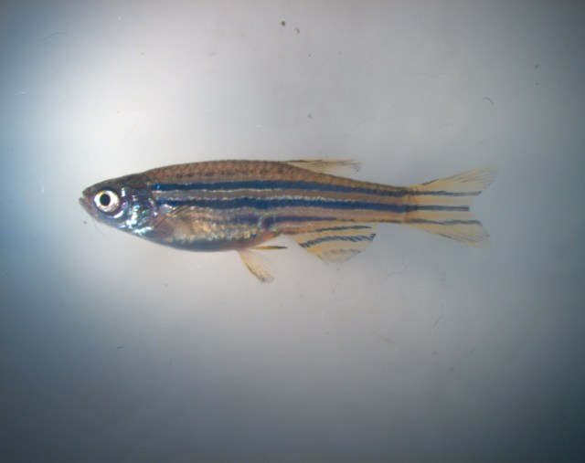 Zebrafish are a type of minnow widely used in scientific research and