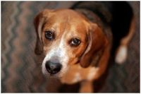 Dogs that sniff out Bed Bugs - Wiki