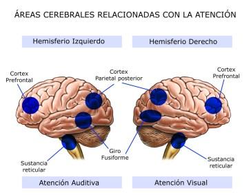 Areas cerebrales y atención