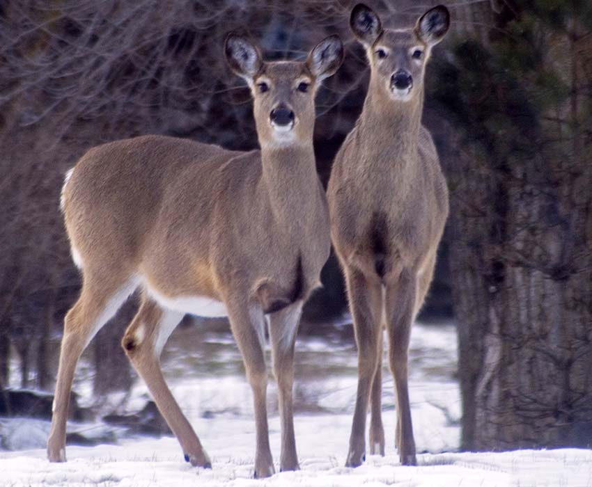 White-tailed Deer - Odocoileus virginianus - NatureWorks