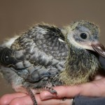 Baby Pigeon Photo 01