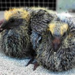 Baby Pigeon Photo 02