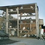 Rooftop Pigeon Nest