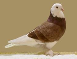 Tumbler Pigeon