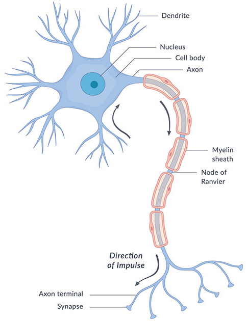 What are the parts of the nervous system? NICHD - Eunice Kennedy
