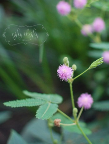 mimosa from {nifty thrifty things}