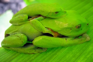 Grüne Frösche in Costa Rica. Reisebericht und Foto: www.nikkiundmichi.de