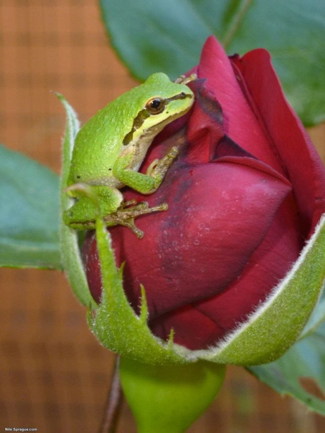 Frog and Rose