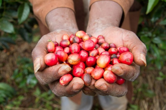 Hands full of coffee beans, Karatina, Kenya