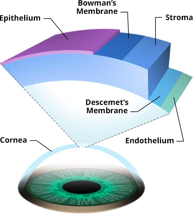 How the Human Eye Works Cornea Layers/Role Light Rays