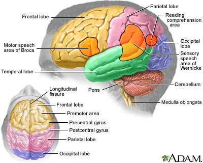 Gambar Gambar Last Child Toronto Fc Forum Red Patch Boys Forums Brain Medlineplus Medical Encyclopedia Image