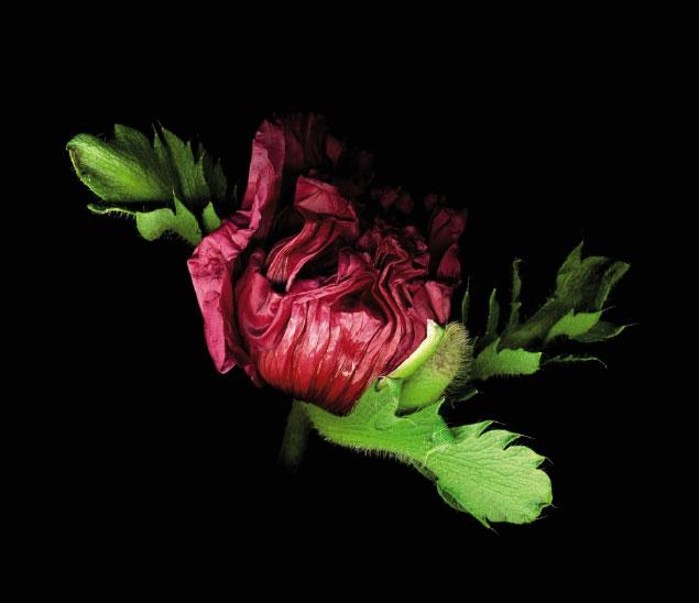 Isabel Bannerman Oriental Poppy