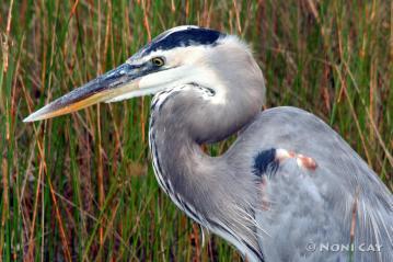 IMG_2071 Great Blue Heron