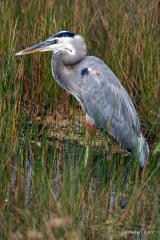 IMG_2072 Great Blue Heron Standing