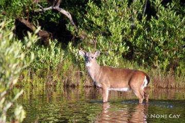 IMG_4898 THOR the KEY DEER