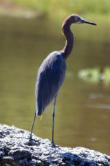 IMG_5540 Reddish Egret