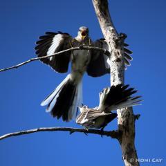 Northern Mockingbird Mockingbird Display