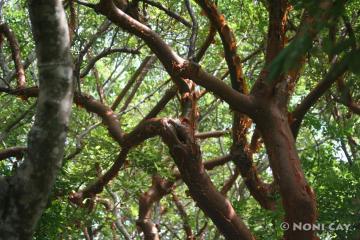 Gumbo Tree aka The Tourist Tree cause it peels