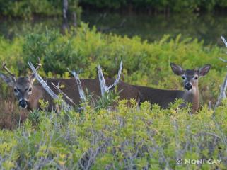 IMG_7476two deer bucks