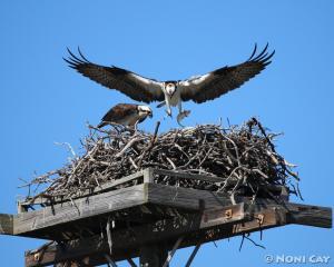IMG_0357.jpgOsprey Pair Sea Eagles