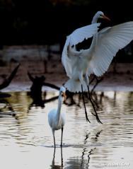 IMG_1494 resized Great White Heron