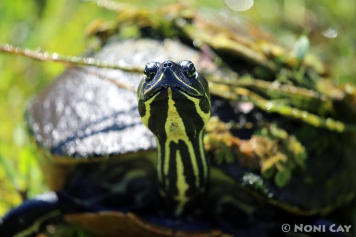 IMG_2785 turtle
