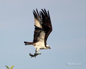 IMG_2861osprey#1 Sea Eagle
