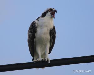 IMG_3189osprey Immature Sea Eagle