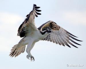 IMG_3192osprey The Sea Eagle