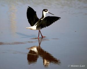 IMG_3846Black-necked Stilt Black-necked Stilt