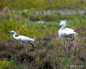 IMG_6293TheEgretChase Snowny Egrets