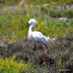 IMG_6295SnownyEgret Snowny Egret