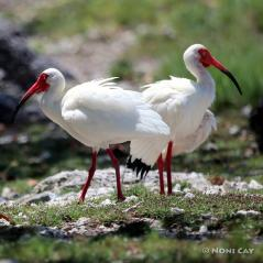 IMG_6869IbisinBreedingForm Ibis in breeding plumage