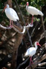 IMG_6895IbisBreedingColor Ibis in breeding form