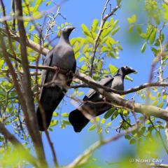 IMG_7382White-crowned Pigeon pair