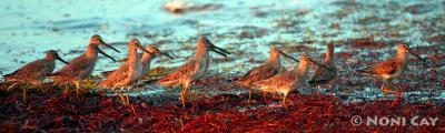 IMG_7477Sandpipers Shore Birds