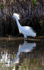IMG_7707Snowny Egret. Snowny Egret