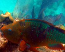 DSC02558Parrotfish
