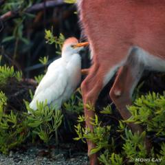 IMG_9031Catt;e Egret Cattle Egret