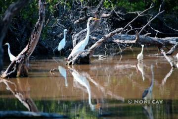 IMG_0712Great Egret