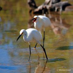 IMG_0778TheSnownyEgretChase Snowny Egrets
