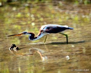 IMG_0798Tri-coloredHeron Tricolored Heron