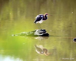 IMG_9804Ruffled Tricolored Heron