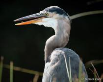IMG_1799Great Blue Heron