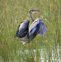 IMG_1821Great Blue