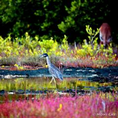 IMG_2526ImmatureYellow-crownedNight-Heron