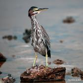 IMG_2529Immature Yellow-crowned Night-Heron